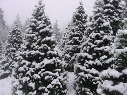 snowytreeobit1